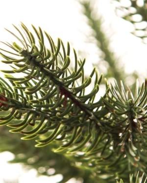 Sherwood Spruce 365 cm Műfenyő